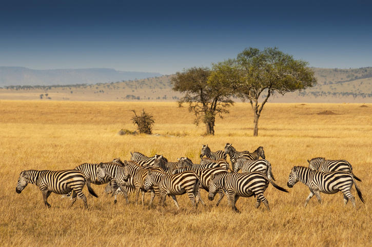 Herds of zebra in South Africa plains