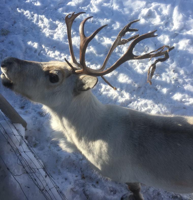 Reindeer at the Snowhotel Kirkenes